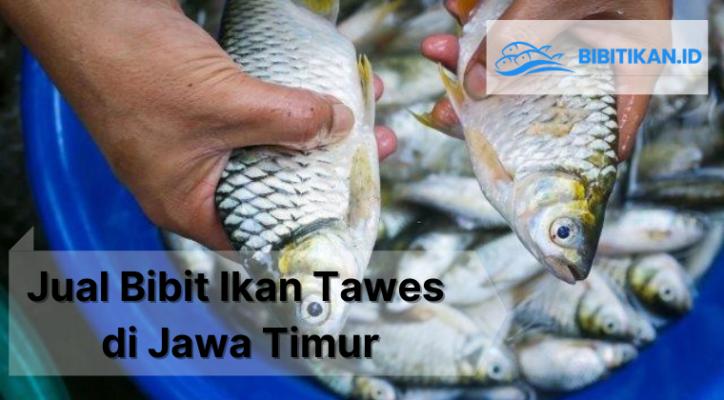 jual bibit ikan tawes surabaya