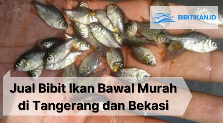 jual bibit ikan bawal murah