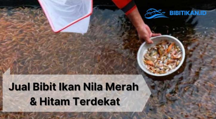 Jual Ikan Nila Merah & Hitam Surabaya