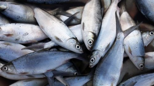 bibit ikan bandeng