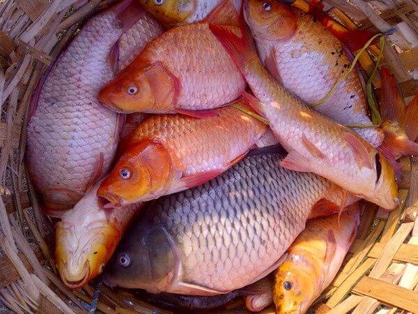 panen ikan tombro