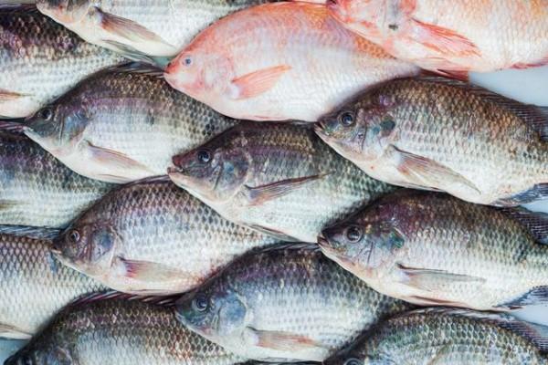 jual bibit ikan nila