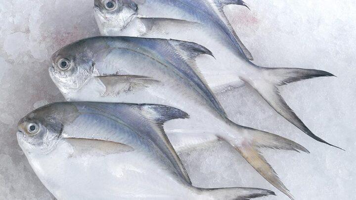 jual ikan bawal