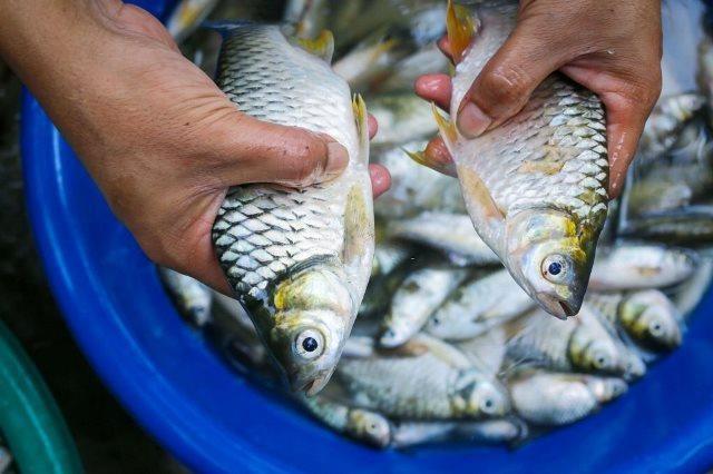 jual bibit ikan tawes